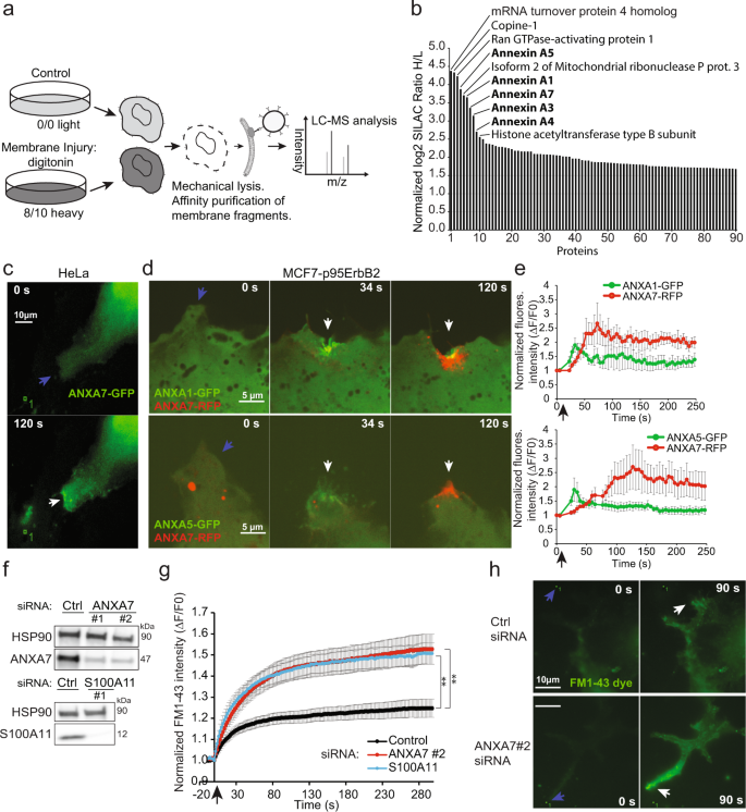Annexin A7 is required for ESCRT III-mediated plasma membrane repair