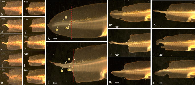 HDAC Regulates Transcription at the Outset of Axolotl Tail