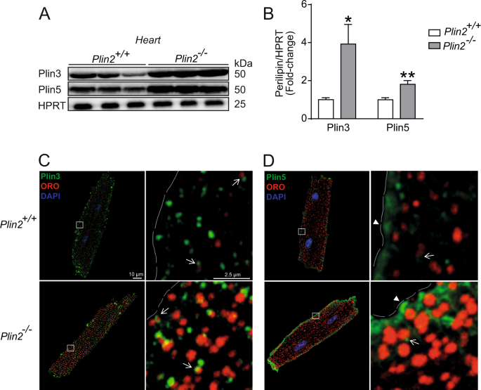 Plin2-deficiency reduces lipophagy and results in increased lipid