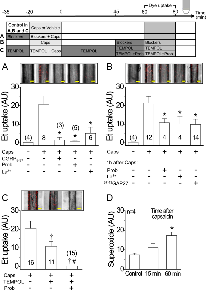 CGRP signalling inhibits NO production through pannexin-1 channel