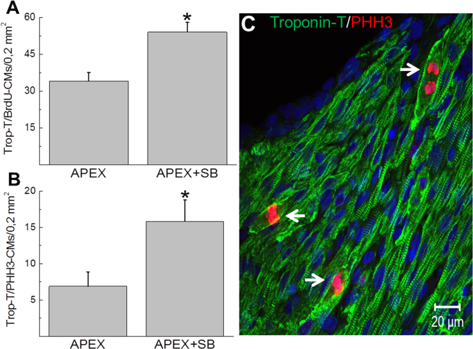 66d0f9ba916d Quantitative assessment of cell cycle re-entry of NNVMs identified in the  viable myocardium of the apex-resected region. The density of cardiac  troponin-T ...