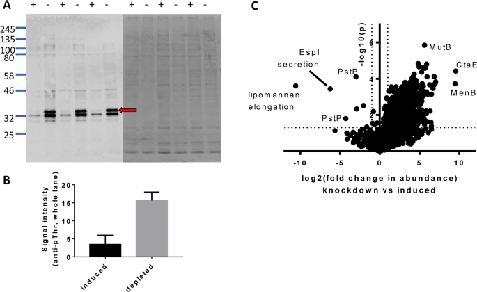 Mycobacterial phosphatase PstP regulates global serine