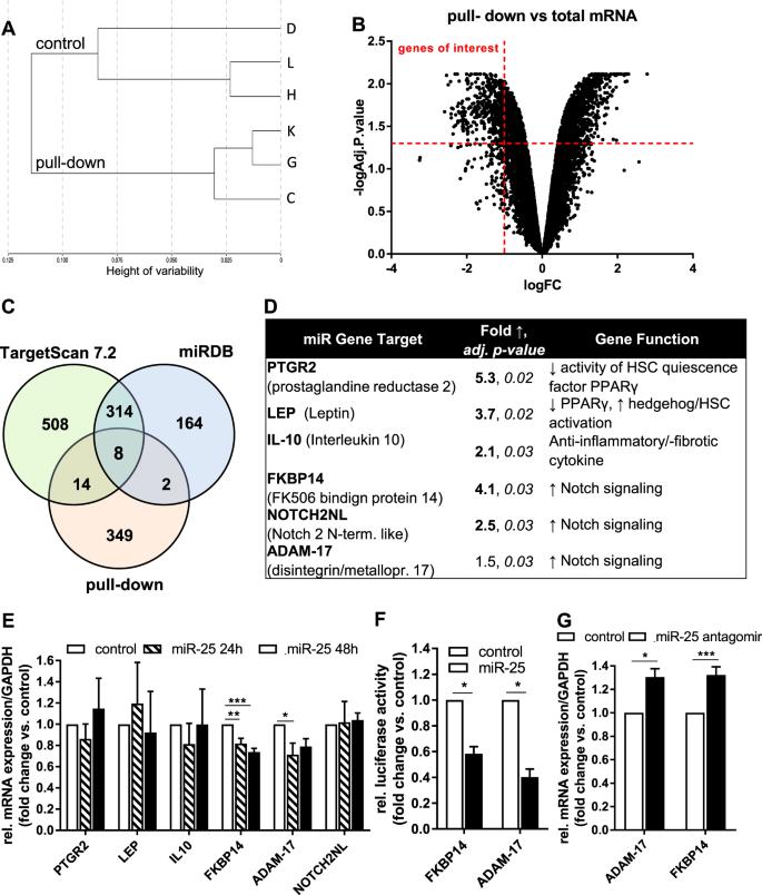 Overexpression of miRNA-25-3p inhibits Notch1 signaling and TGF-β