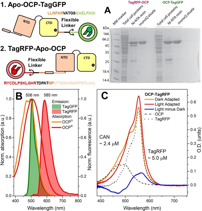A genetically encoded fluorescent temperature sensor derived