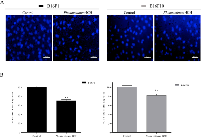 Low Diluted Phenacetinum Disrupted The Melanoma Cancer Cell Migration Scientific Reports