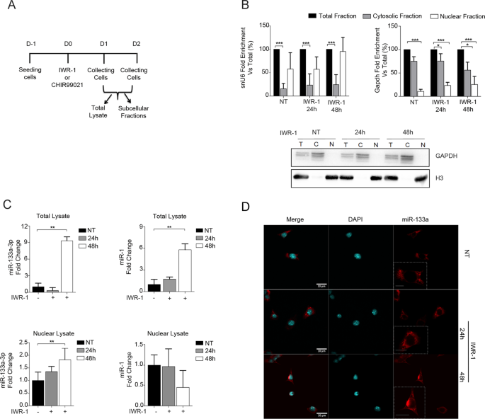 Wnt signalling mediates miR-133a nuclear re-localization for the trans