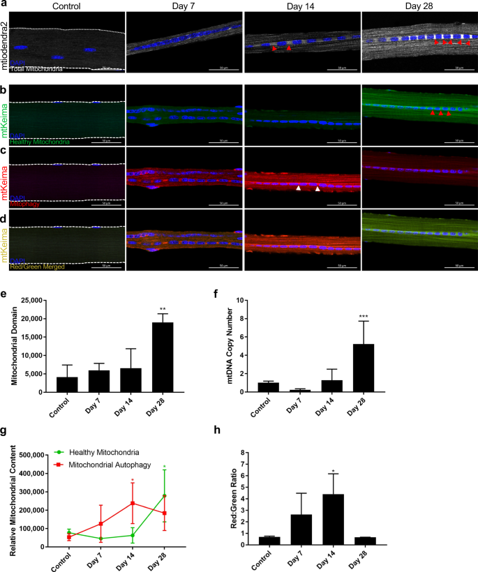 Critical Limb Ischemia Induces Remodeling of Skeletal Muscle