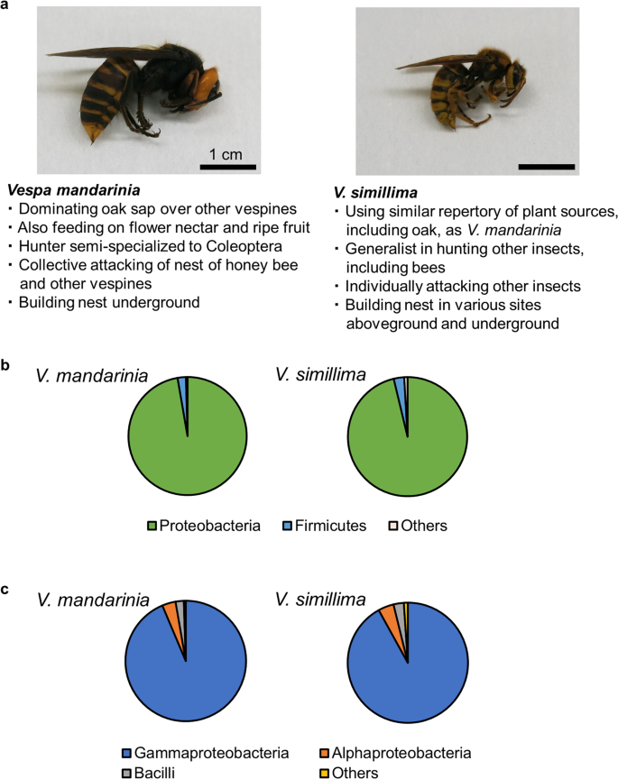Community analysis of gut microbiota in hornets, the largest