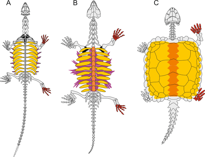 Microanatomy of the stem-turtle Pappochelys rosinae indicates a predom