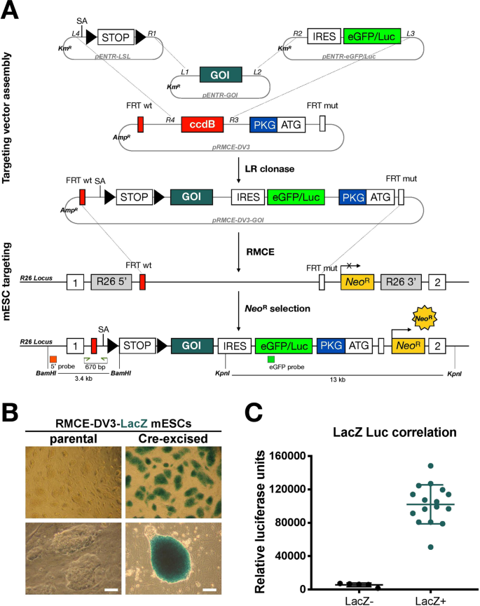 Novel strategy for rapid functional in vivo validation of oncogenic dr