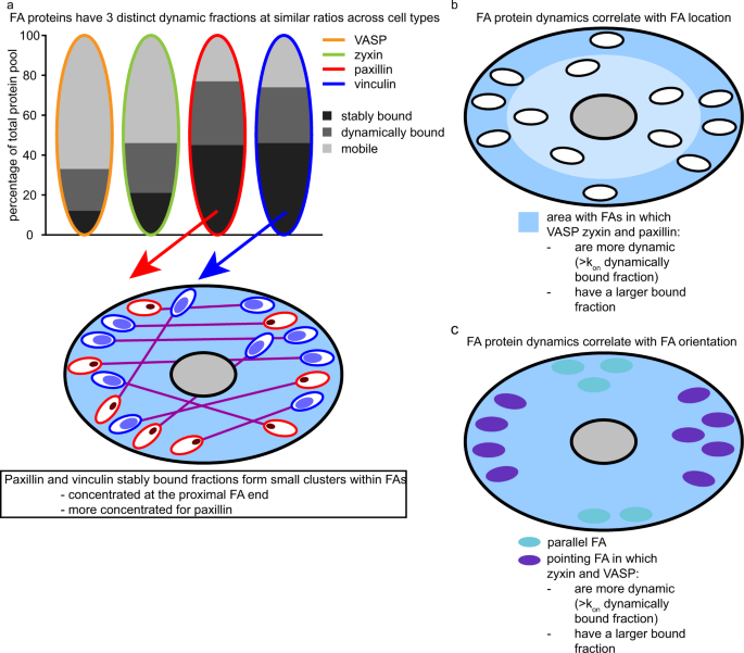 Dynamics and distribution of paxillin, vinculin, zyxin and