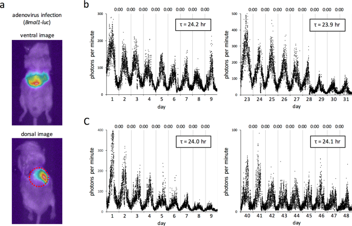 In vivo evaluation of the effect of lithium on peripheral circadian