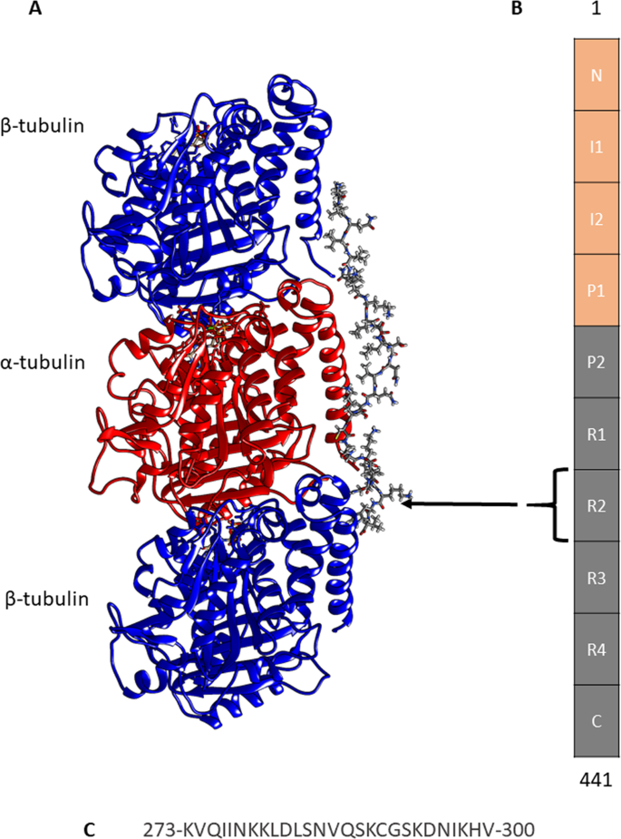 Differential binding affinity of tau repeat region R2 with