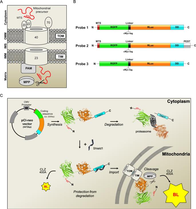 The PINK1 kinase-driven ubiquitin ligase Parkin promotes mitochondrial
