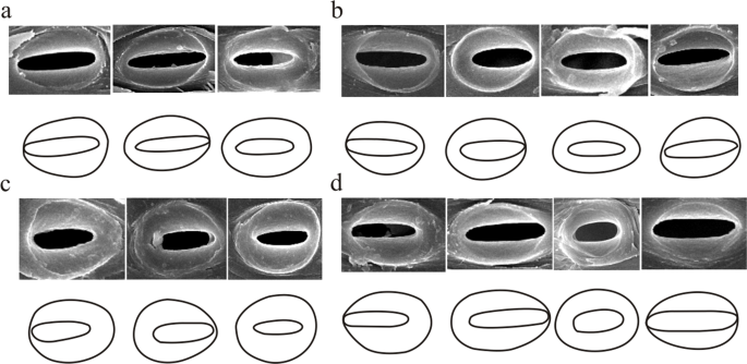 Comparison of metaxylem vessels and pits in four sympodial