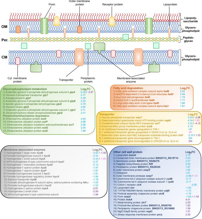 Escherichia coli adaptation and response to exposure to