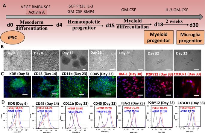 Functionalization of Brain Region-specific Spheroids with ...