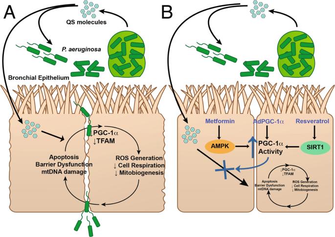 Pseudomonas aeruginosa Induced Host Epithelial Cell