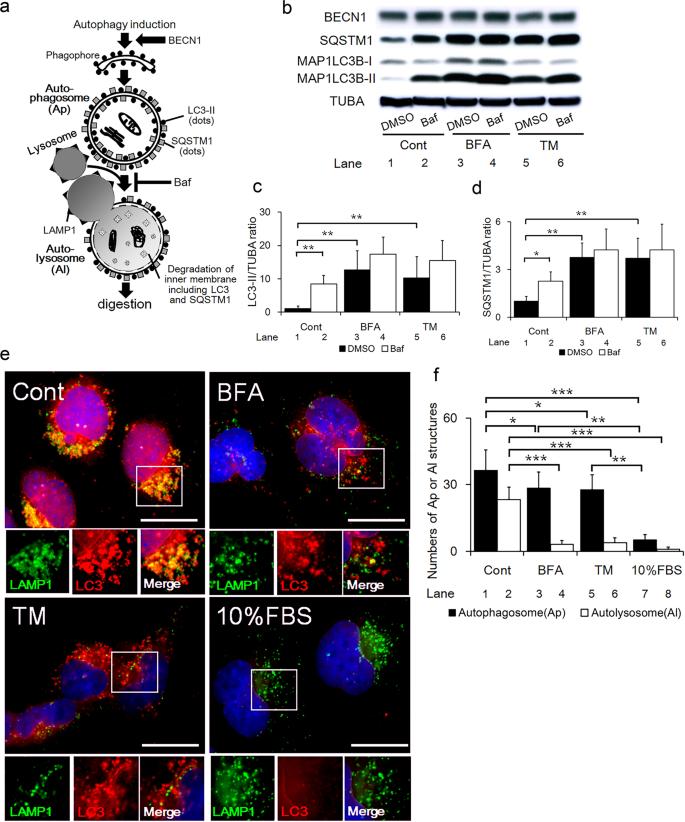 Endoplasmic reticulum stress disrupts lysosomal homeostasis and