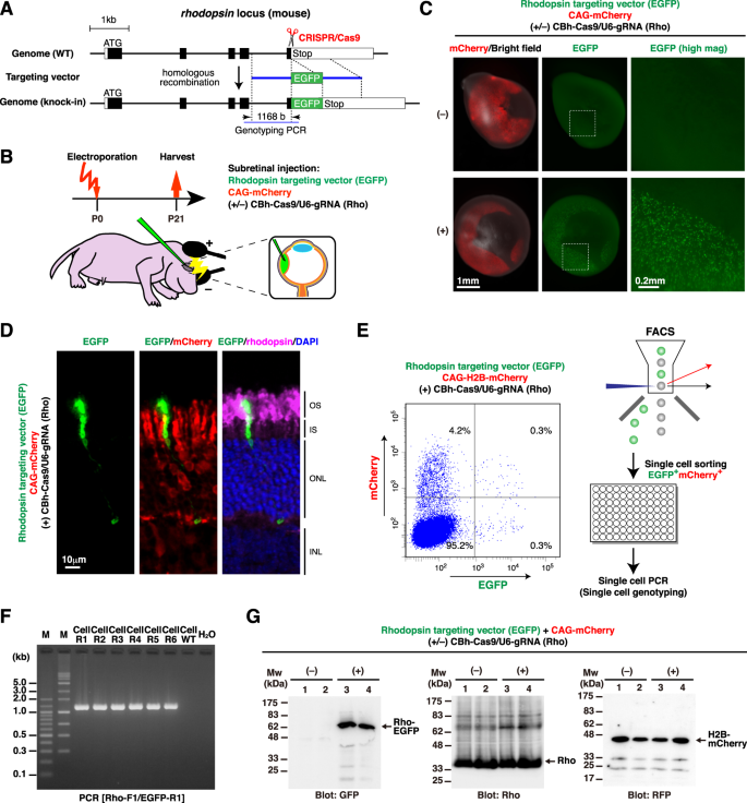 Optimized CRISPR/Cas9-mediated in vivo genome engineering applicable t