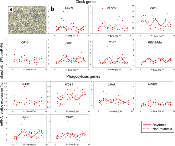 Rev-Erbα and Photoreceptor Outer Segments modulate the Circadian