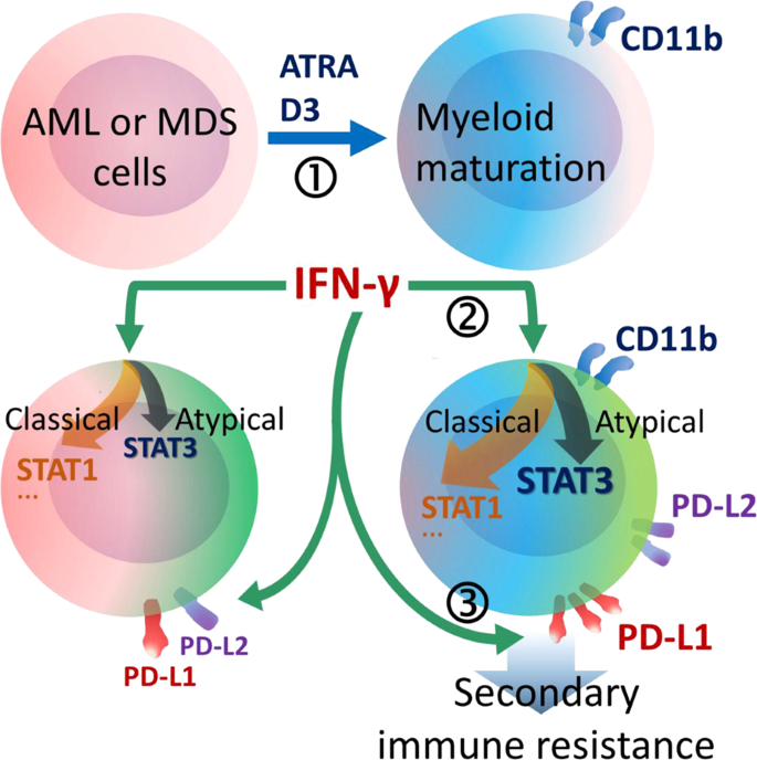 Myeloid maturation potentiates STAT3-mediated atypical IFN-γ