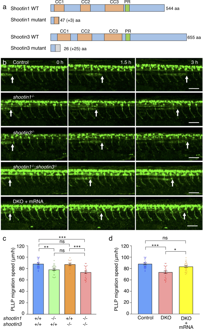Shootins mediate collective cell migration and organogenesis