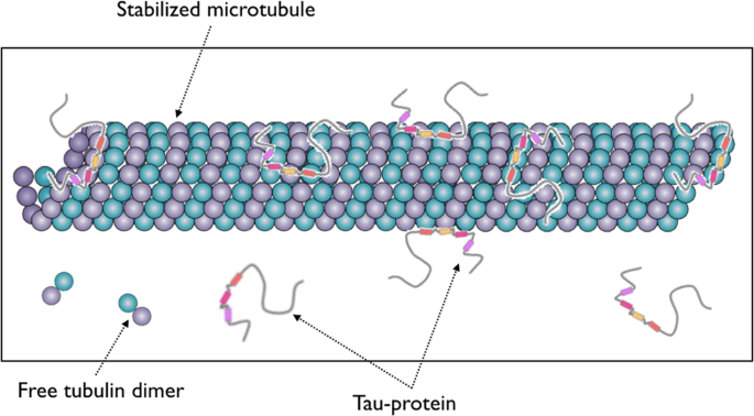 Dynamical decoration of stabilized-microtubules by Tau-proteins