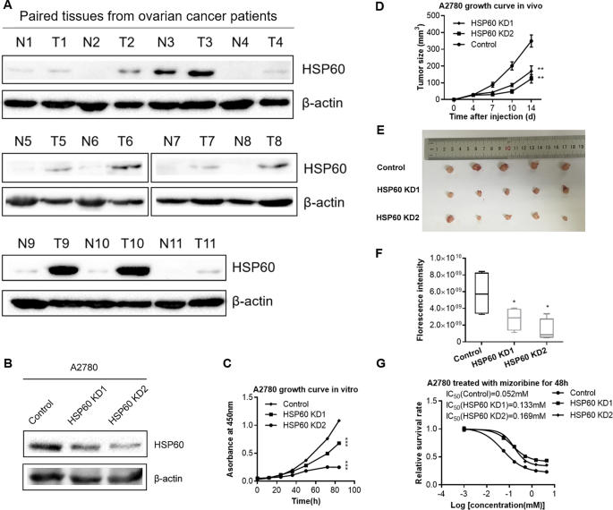 Hsp60 Regulated Mitochondrial Proteostasis And Protein Translation Promote Tumor Growth Of Ovarian Cancer Scientific Reports