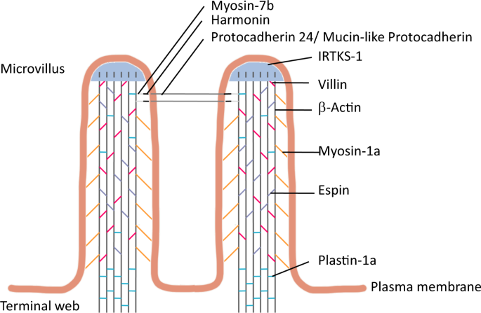 The roles of glucagon-like peptide-2 and the intestinal epithelial ins