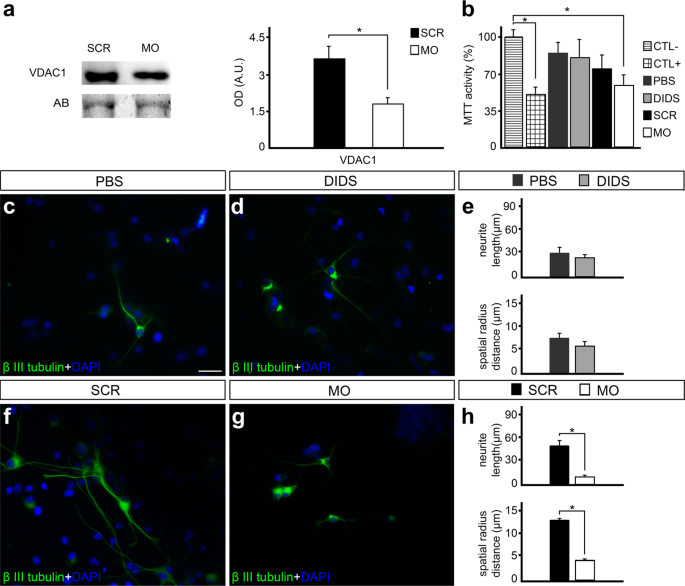 VDAC1 is essential for neurite maintenance and the inhibition of its o