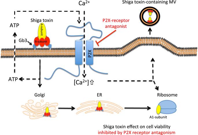 Shiga toxine 1 et 2, Clostridium difficile-toxine A/B