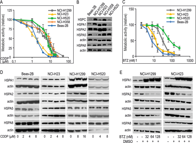 Functional redundancy of HSPA1, HSPA2 and other HSPA proteins in non-s