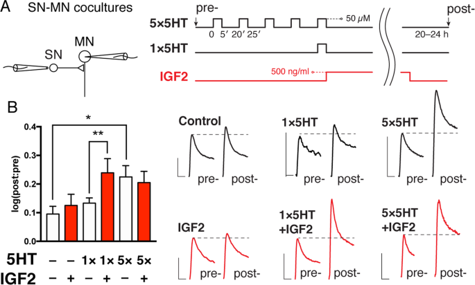 Neurotropic and modulatory effects of insulin-like growth factor II in
