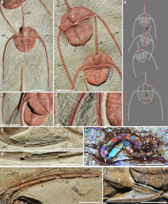 Collective behaviour in 480-million-year-old trilobite arthropods from