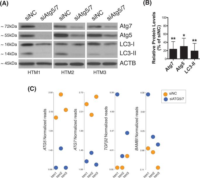 Transcriptome analysis reveals autophagy as regulator of TGFβ/Sma
