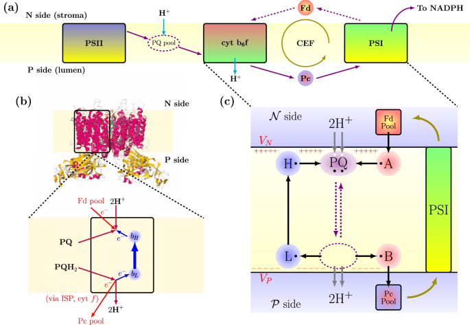 Optimal efficiency of the Q-cycle mechanism around physiological tempe