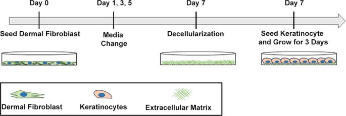 In Vitro Expansion of Keratinocytes on Human Dermal Fibroblast-Derived