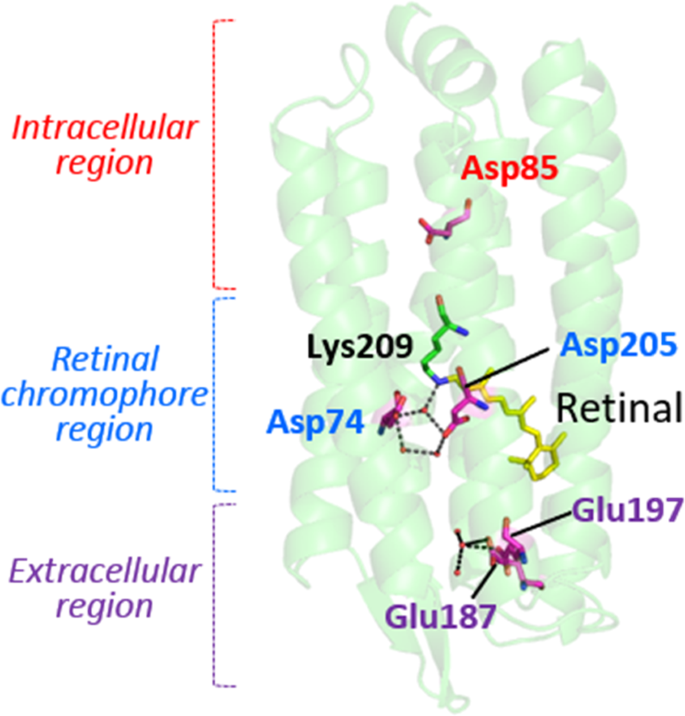 Vectorial Proton Transport Mechanism of RxR, a Phylogenetically Distin