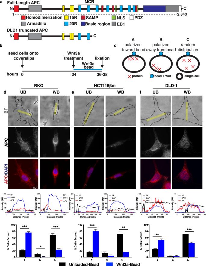 Apc Controls Wnt Induced B Catenin Destruction Complex Recruitment In Human Colonocytes Scientific Reports