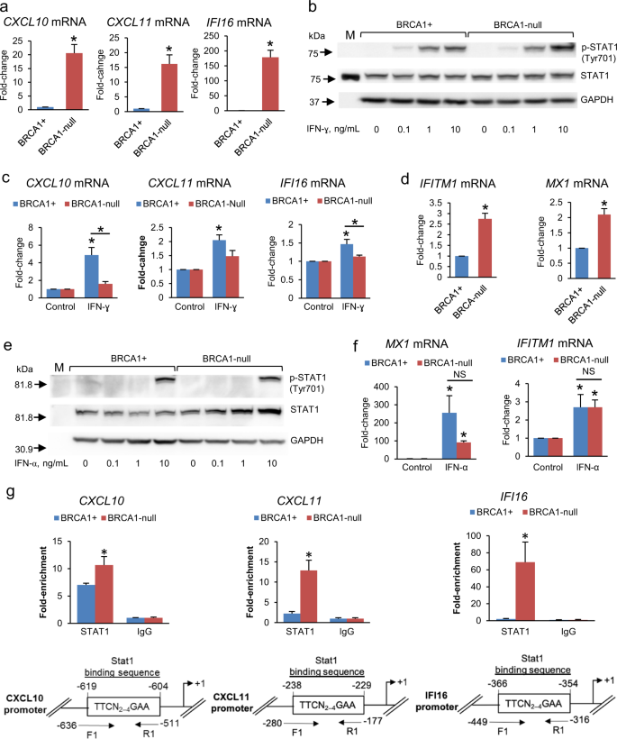 Interferon-γ Signaling Is Associated With BRCA1 Loss-of