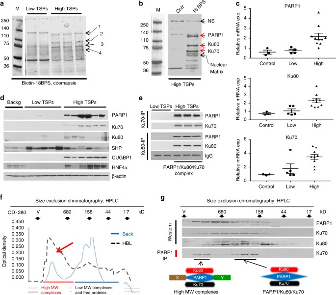 PARP1 activation increases expression of modified tumor