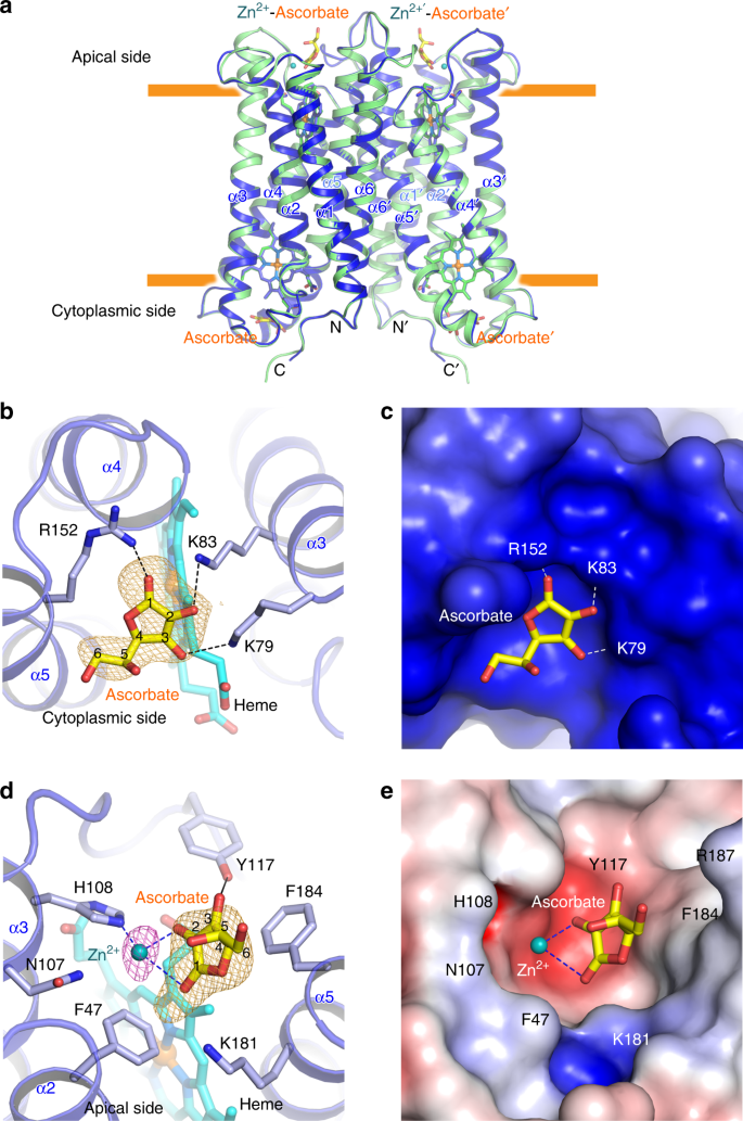 Structural basis for promotion of duodenal iron absorption by