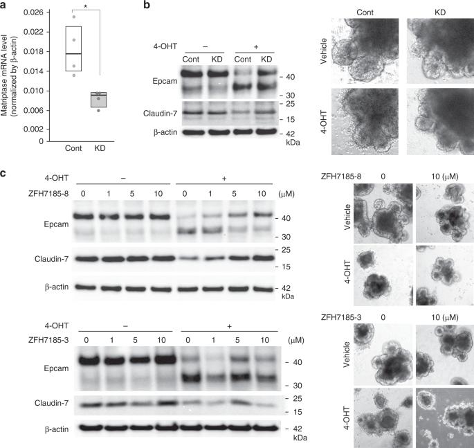 Hepatocyte growth factor activator inhibitor-2 stabilizes