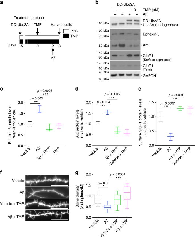 Dysfunction of the ubiquitin ligase E3A Ube3A/E6-AP