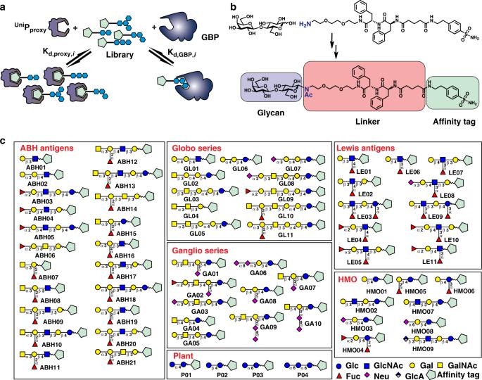 A quantitative, high-throughput method identifies protein–glycan