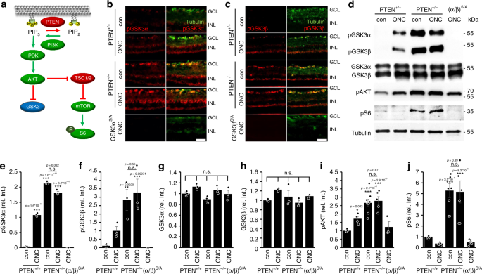 GSK3-CRMP2 signaling mediates axonal regeneration induced by Pten knoc