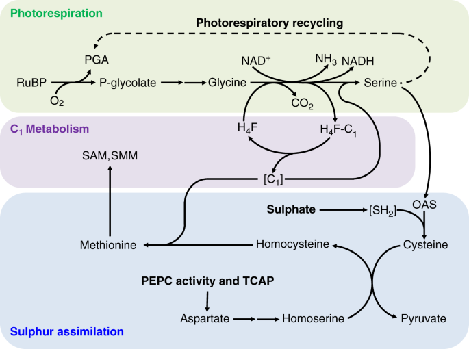 Plant sulphur metabolism is stimulated by photorespiration