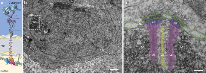 Electron tomography of mouse LINC complexes at meiotic telomere attach