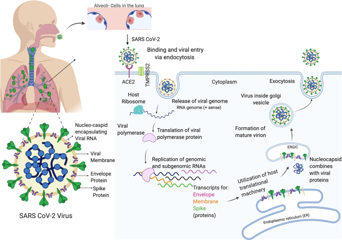 Sex Differences In Sars Cov 2 Infection Rates And The Potential Link To Prostate Cancer Communications Biology